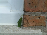 Leafbugegads1