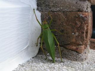 Leafbugegads2